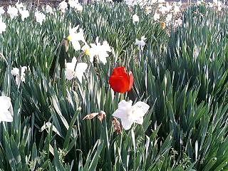 tulip080426-01.jpg
