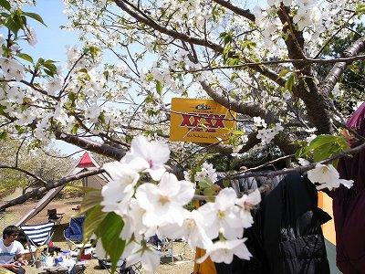 お花見キャンプ2008_1