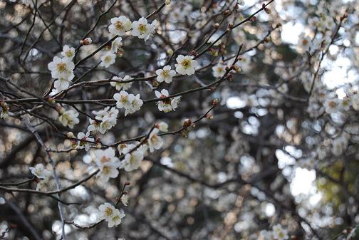 京都御苑2008春 016316