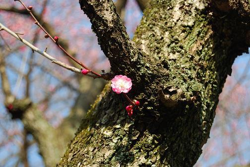 京都御苑2008春 028316