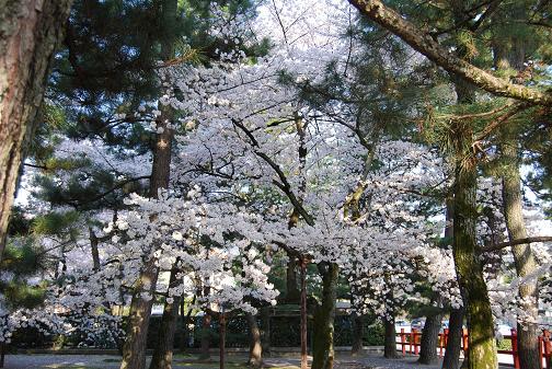京都桜2008春 006blog