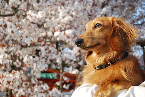 京都桜2008春 029blog