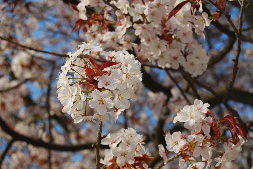 京都桜2008春 017blog