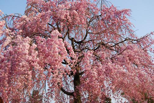 京都桜2008春 039blog