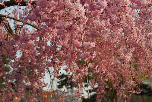 京都桜2008春 045blog