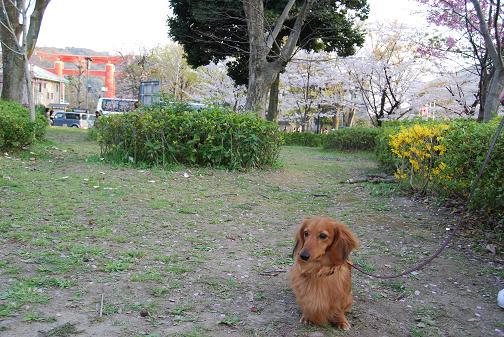 京都桜2008春 059blog