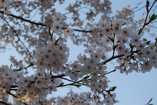 京都桜2008春 052blog