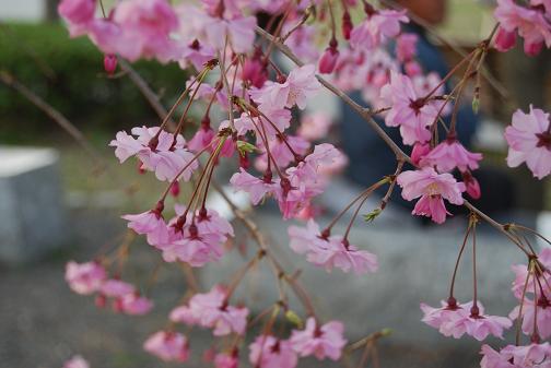 京都桜2008春 084blog