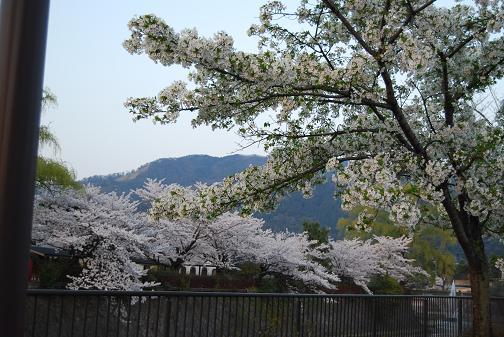 京都桜2008春 105blog