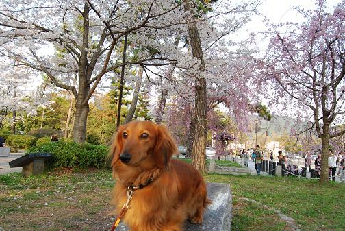 京都桜2008春 065blog
