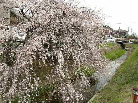 大森の川の桜