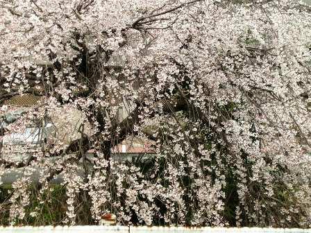 大森の川の桜2