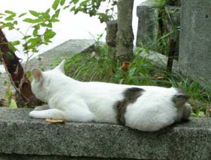 龍神社の猫4