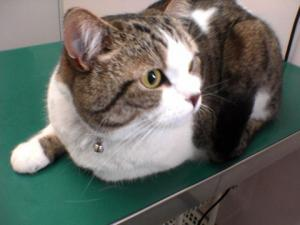 猫白血病ウイルス感染症ワクチン接種