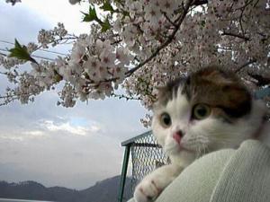 のんちゃんと桜