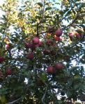 長野県りんごの日