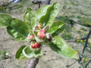 りんごの花の蕾