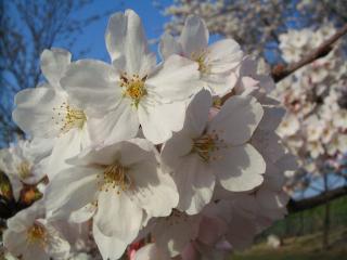 八幡原の桜