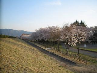 堤防沿いの桜