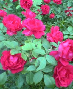前庭のバラ