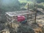 あえなく捕獲された笑顔の偽猪wwww