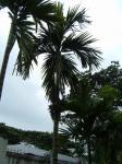 Betel Palm 1