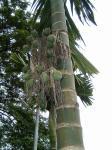 Betel Palm 2