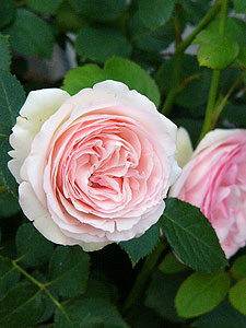 Rose-fuchu02.jpg