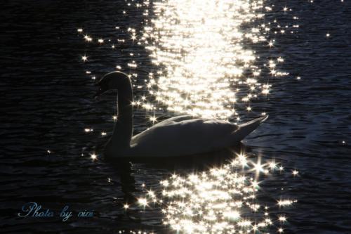 煌きの白鳥