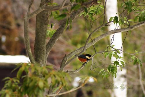 野鳥の森公園 ヤマガラ