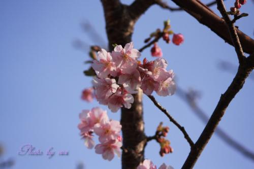 河津桜03