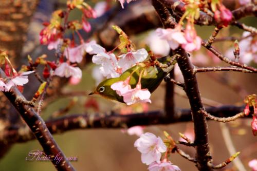 河津桜とメジロ01