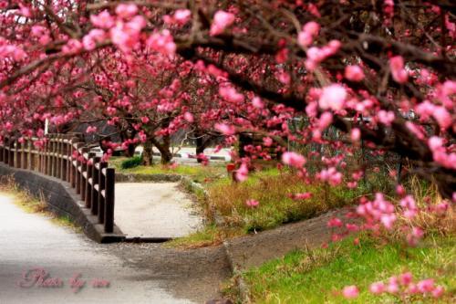 梅の並木道02