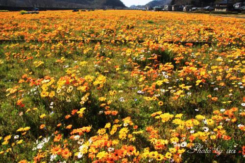 アフリカキンセンカお花畑
