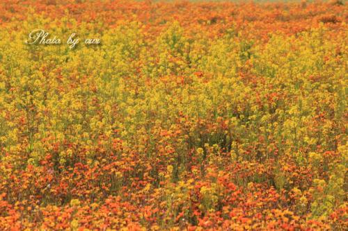 アフリカキンセンカと菜の花のコラボ