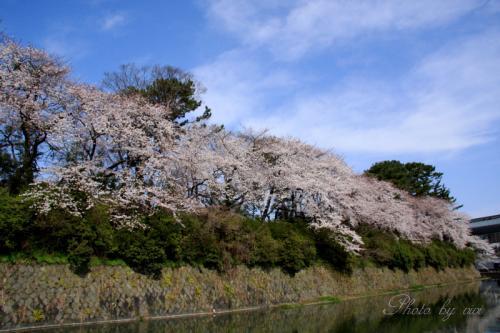 お堀の桜01