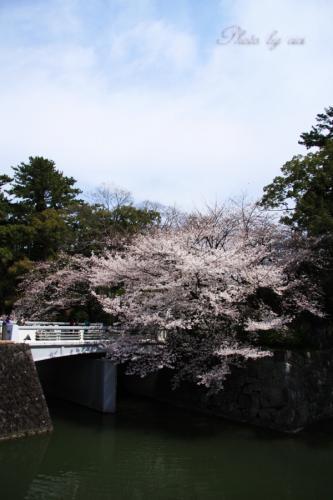 お堀の桜02