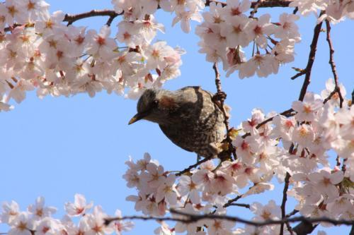 桜とヒヨリン