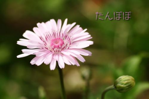 ピンクのたんぽぽ