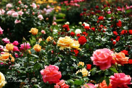 薔薇バラばら