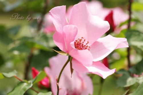薔薇ピンク01