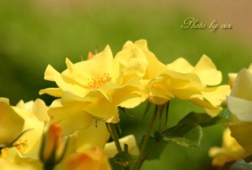 薔薇黄色01