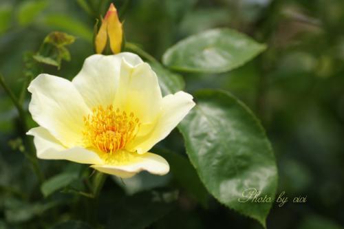 薔薇黄色02
