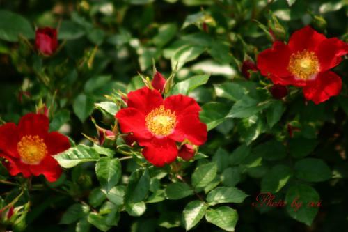 薔薇赤01