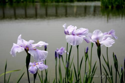 水辺で揺れる花菖蒲