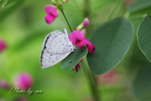 萩と蝶01