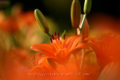 オレンジ色のユリ