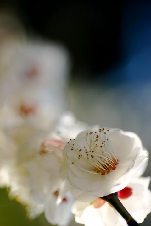 梅の花001