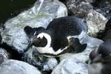 ケープペンギン001