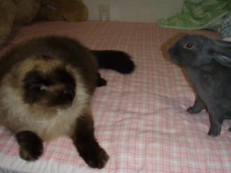 猫を脅すウサギ